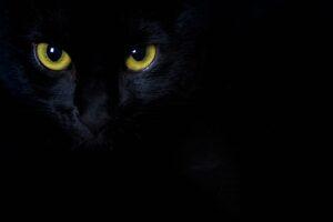 Uwidocznione żółte oczy czarnego kota na czarnym tle