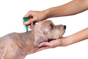 Podanie preparatu spot on na kark psa
